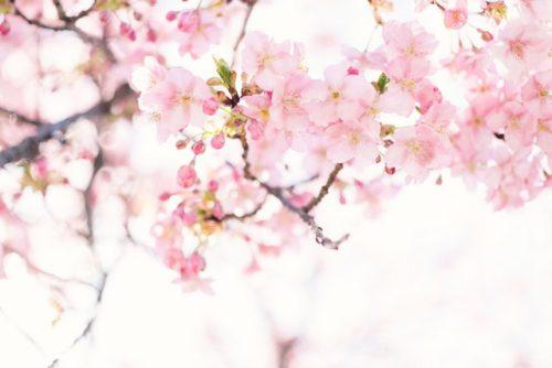 5 najlepših mesta u Japanu gde cveta trešnja